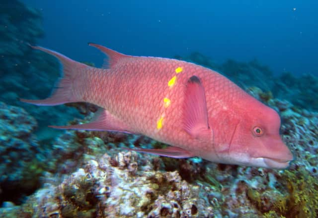 parrot fish Parrotfish are a large family of marine fish made up of over 90 distinct species they are characterized by their parrot-like beaks which are made of tightly compressed teeth in the wild parrotfish use their beak-like mouths to scrape algae off corals.