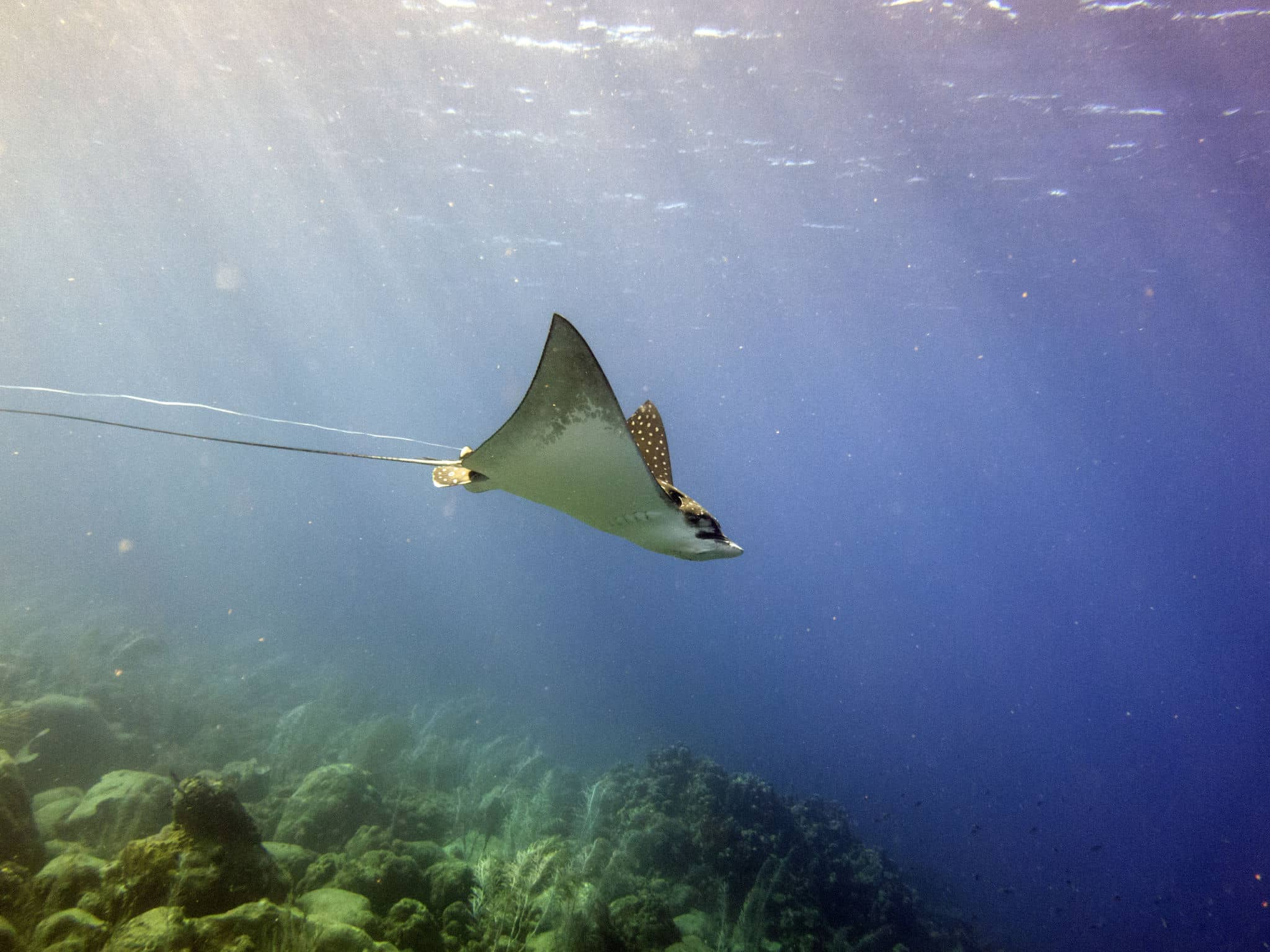 Wounded Eagle Ray Seeks Help from Divers