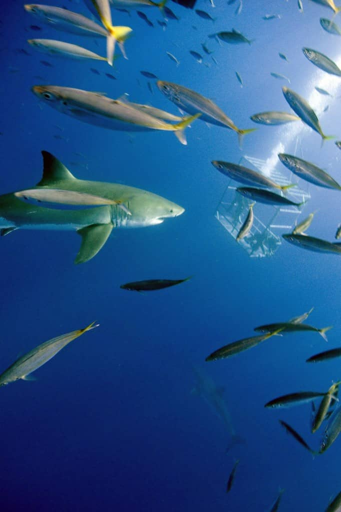 Great White Shark diving in Guadalupe, Great White Shark Diving, great white shark, great white,