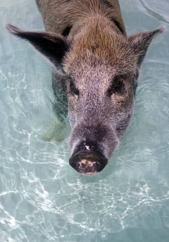 swimming pigs, exuma water sports, pigs, water sports