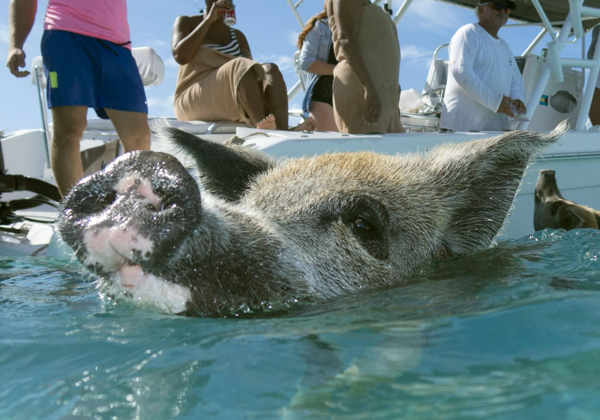 Why are there swimming pigs in the Exumas, Bahamas