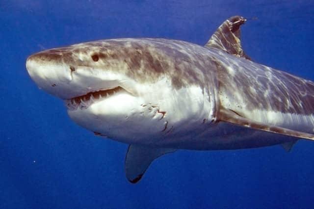 great white shark diving, great white shark, diving, guadalupe