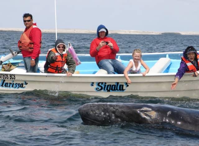 la paz, magdalena bay, gray whales, la paz, whale shark, red travel mexico