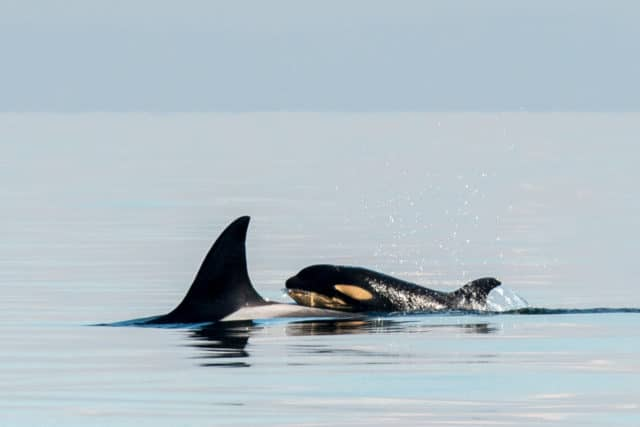 whale watching tour, pacific whale watch association, southern resident killer whales, biggs killer whales and humpbacks