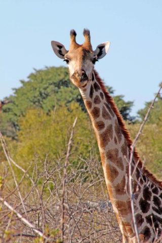 world giraffe day, giraffes, happy world giraffe day