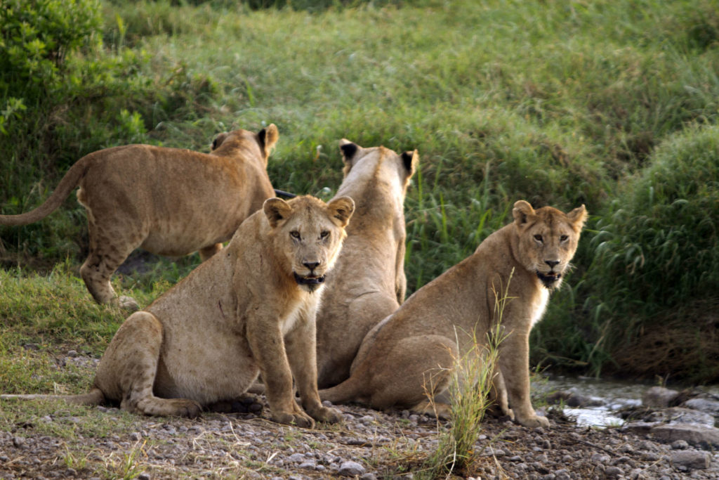 Big cats initiative, world lion day, world lion day 2021, national geographic